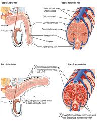 cara-kerja-Vmenplus-Herbal-Obat-Kuat-Ejakulasi-Dini-Disfungsi-Ereksi
